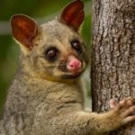 https://media.mnn.com/assets/images/2017/01/Brushtail-Possum-Tree-Trunk.jpg.638x0_q80_crop-smart.jpg