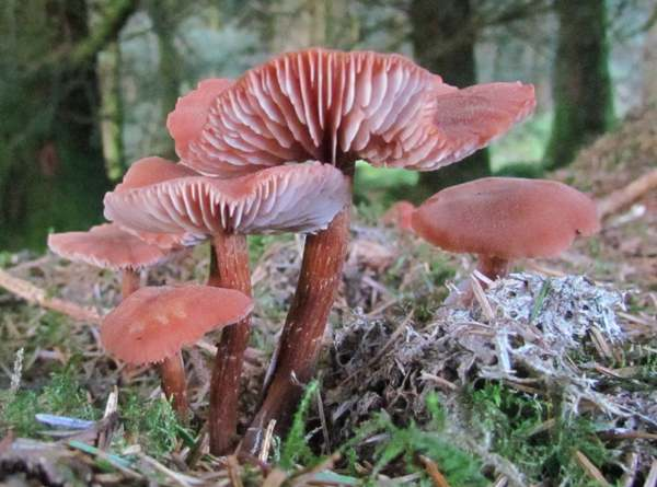 https://www.first-nature.com/fungi/images/hydnangiaceae/laccaria-bicolor1.jpg